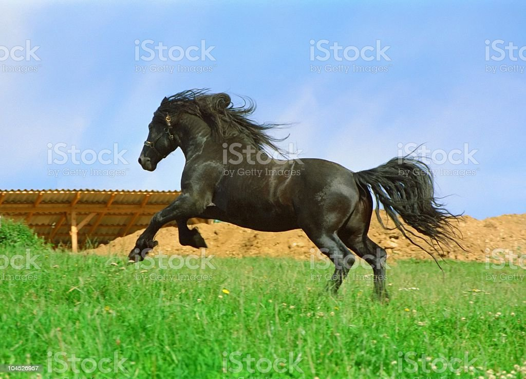 galloping black horse - friesian stallion stock photo