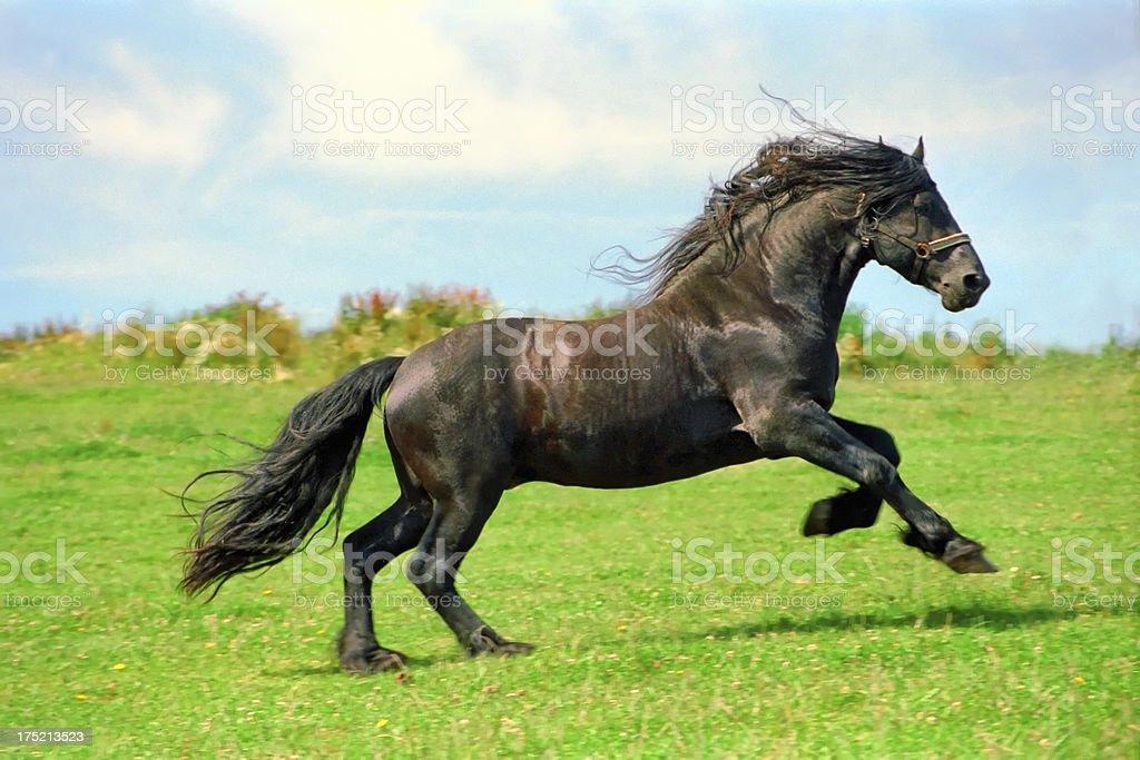 Galloping Black Horse Friesian Stallion Stock Photo Download Image Now Istock