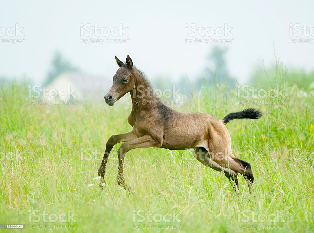 Galloping cute sorrel foal in summer field stock photo