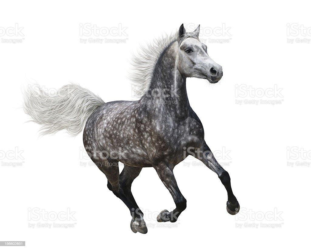 Galloping dapple-Grau arabian horse – Foto