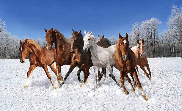 Best Wild Horses Stock Photos Pictures Amp Royalty Free