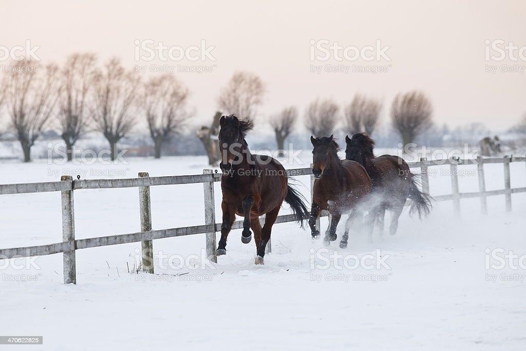 Galloping horses at dawn royalty-free stock photo