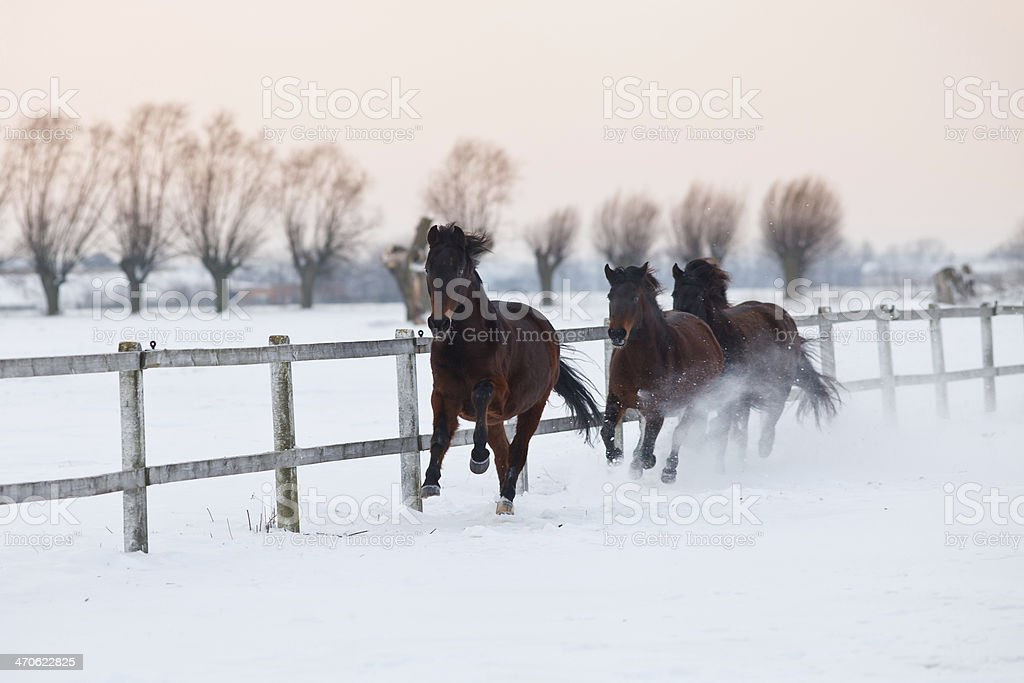 Galloping horses at dawn stock photo
