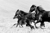 Galloping horses - mares and foals - monochrome
