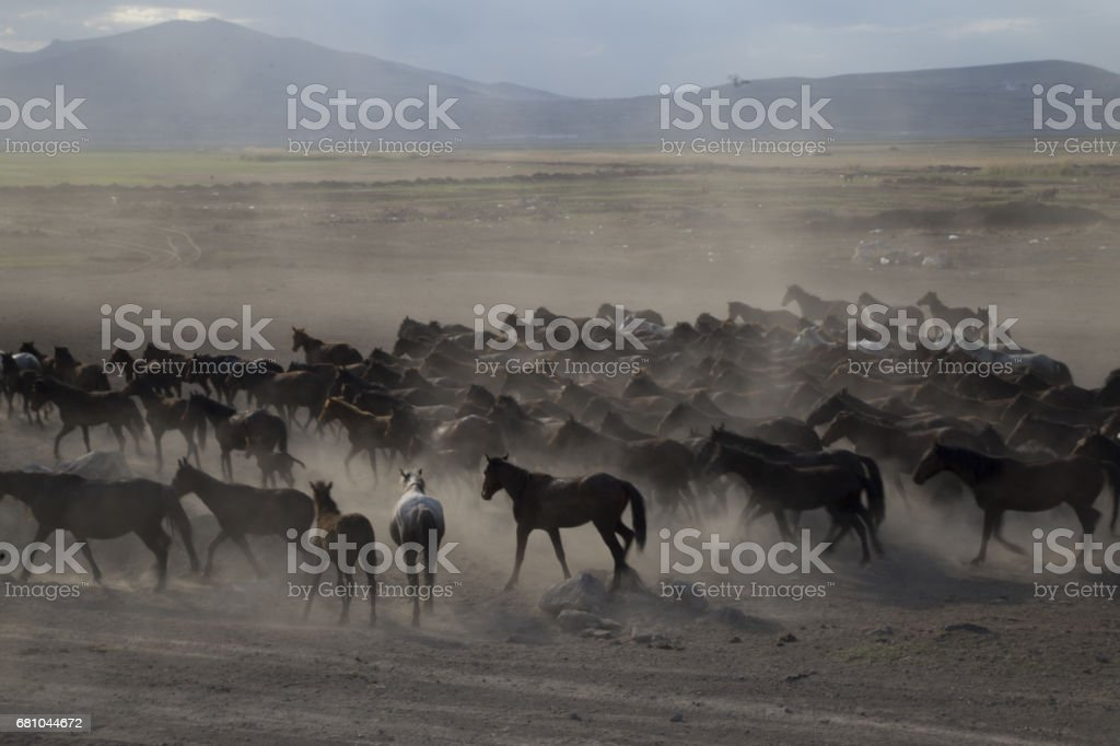 Galloping horses royalty-free stock photo
