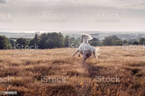 Photo of Galloping Palomino horse.