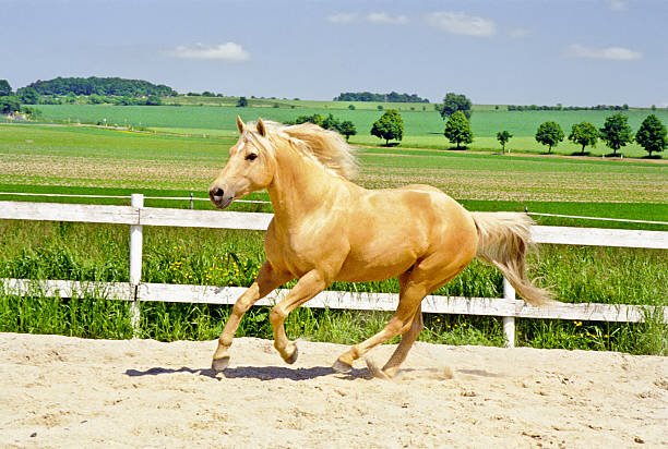 galloping Quarter Horse in paddock  palomino stock pictures, royalty-free photos & images