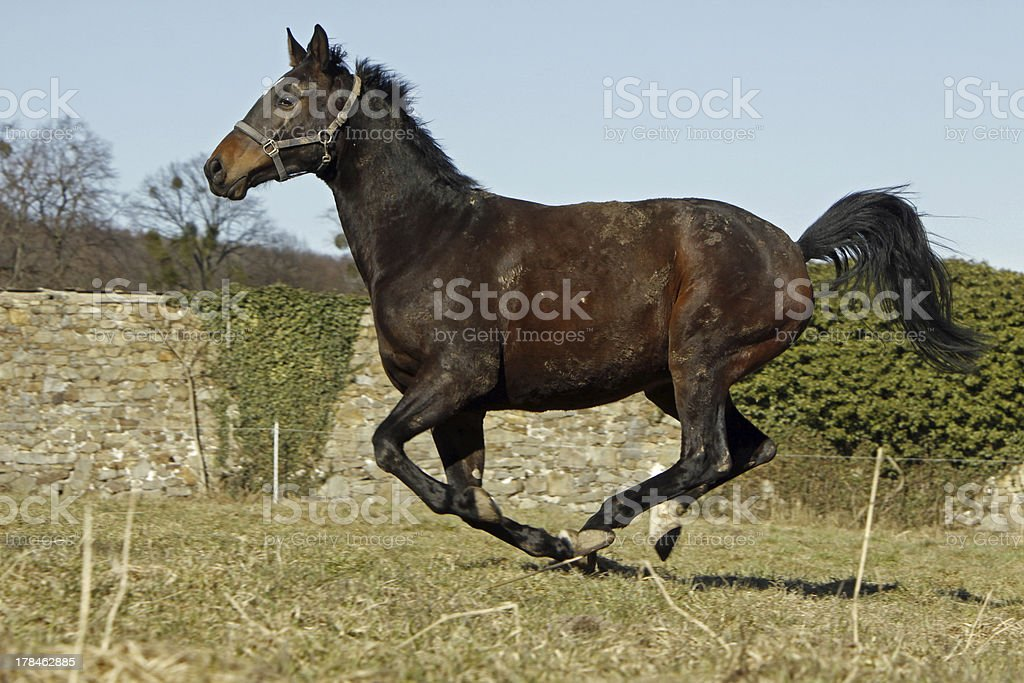 Galloping Trakehner stock photo