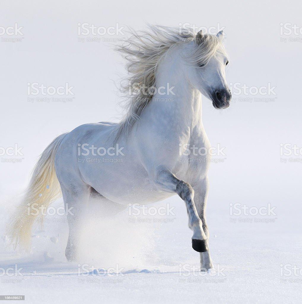 Galloping white horse stock photo