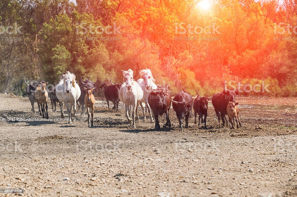 Galloping white horses and bulls stock photo
