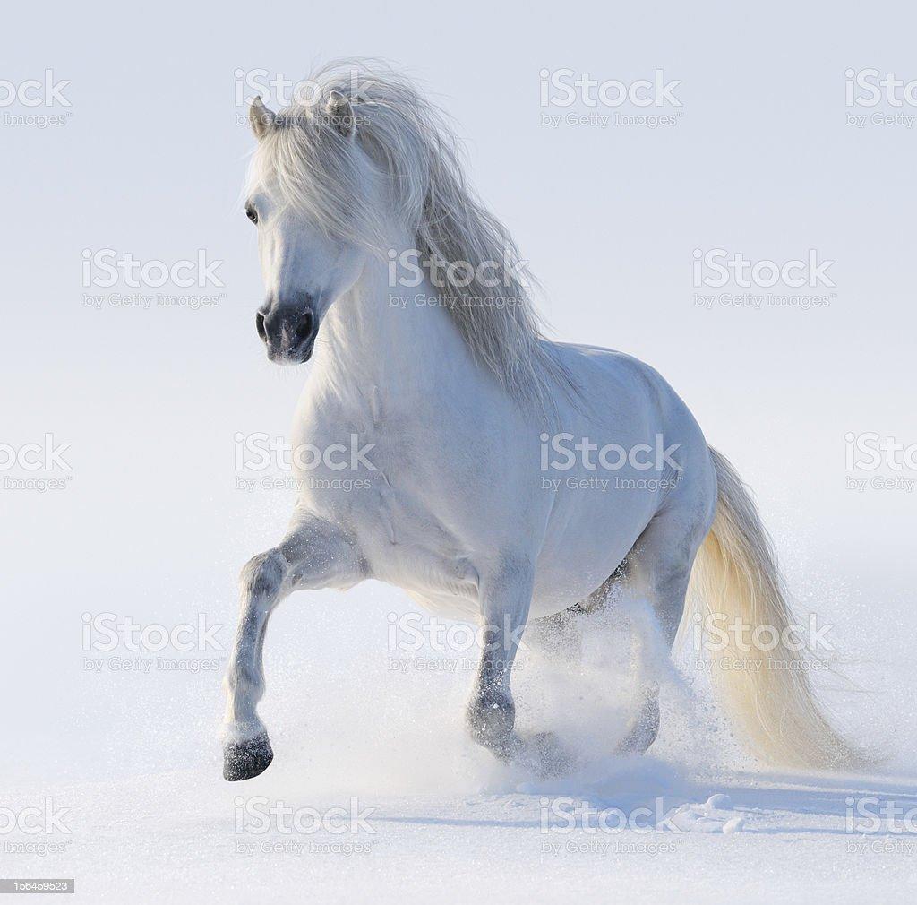 Galloping white Welsh pony stock photo