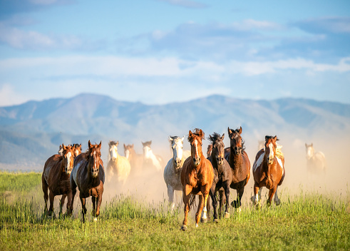 A large group of wild horses, galloping through uncultivated grassland in Utah, USA.