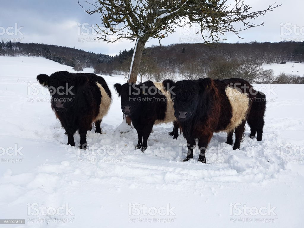 Galloway saddle, Belted, Galloway, Winter, Snow stock photo
