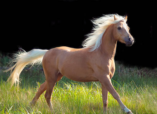 galoping palomino welsh pony at black background galoping palomino welsh pony at black background palomino stock pictures, royalty-free photos & images