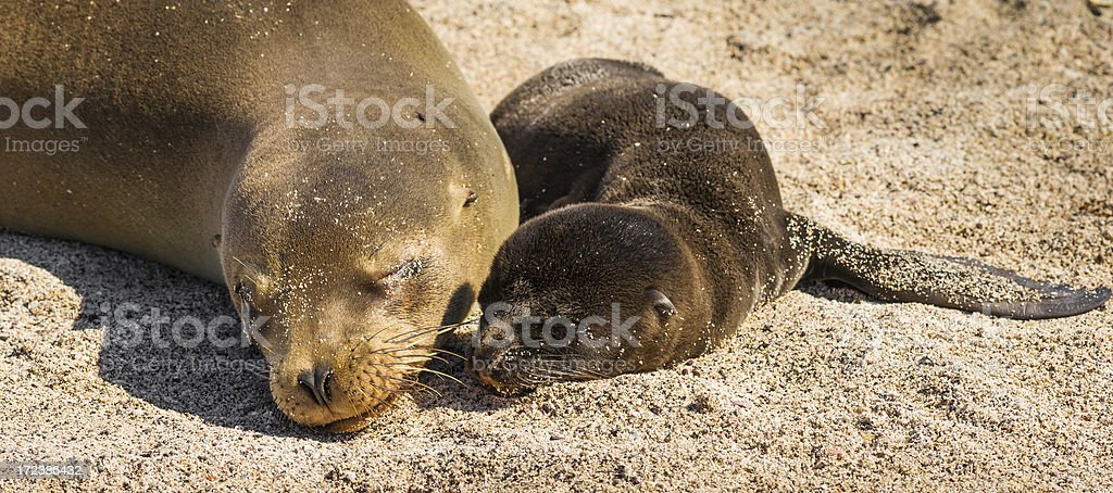 Galápagos Female Sea Lion with Pup stock photo