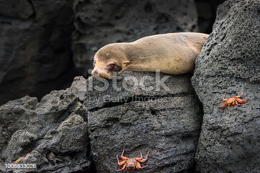 A juvenile Galápagos fur seal (Arctocephalus galapagoensis) at Isabella Island in Western Galapagos. Next to the seal there are several sally lightfoot crabs. The Galápagos fur seal is endemic to the Galápagos Islands and they are an endangered species. Wildlife shot.
