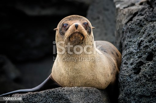 A juvenile Galápagos fur seal (Arctocephalus galapagoensis) at Isabella Island in Western Galapagos. The Galápagos fur seal is endemic to the Galápagos Islands and they are an endangered species. Wildlife shot.