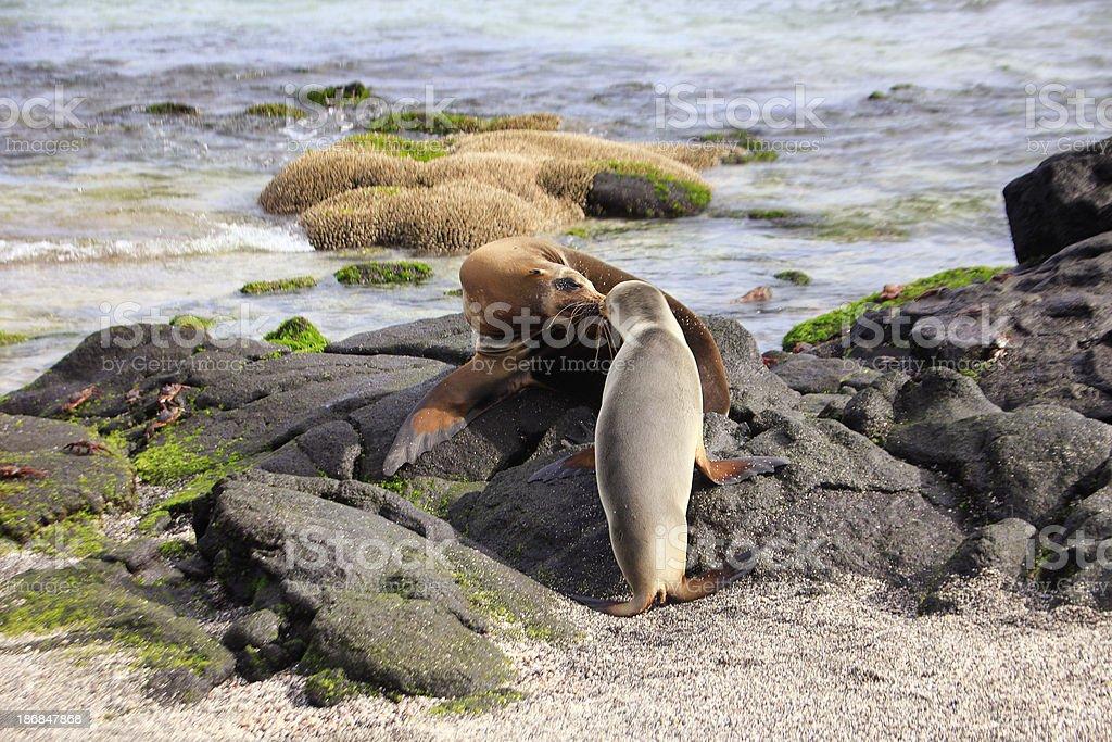 Galápagos Sea Lion and Pup - Fernandina Island, Galapagos stock photo