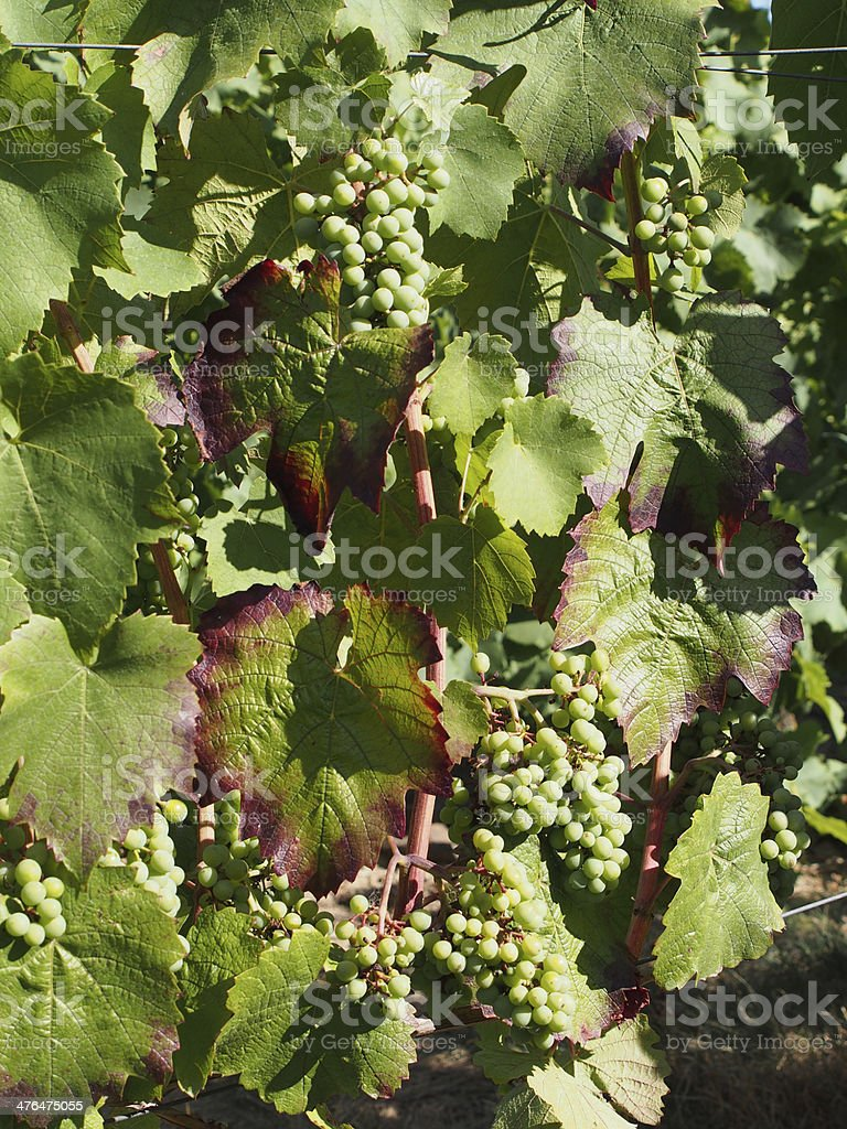 Gamay grape variety in august royalty-free stock photo