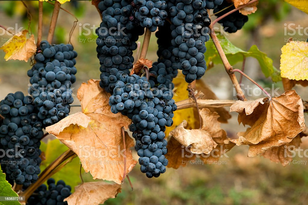 gamay noir grapes royalty-free stock photo