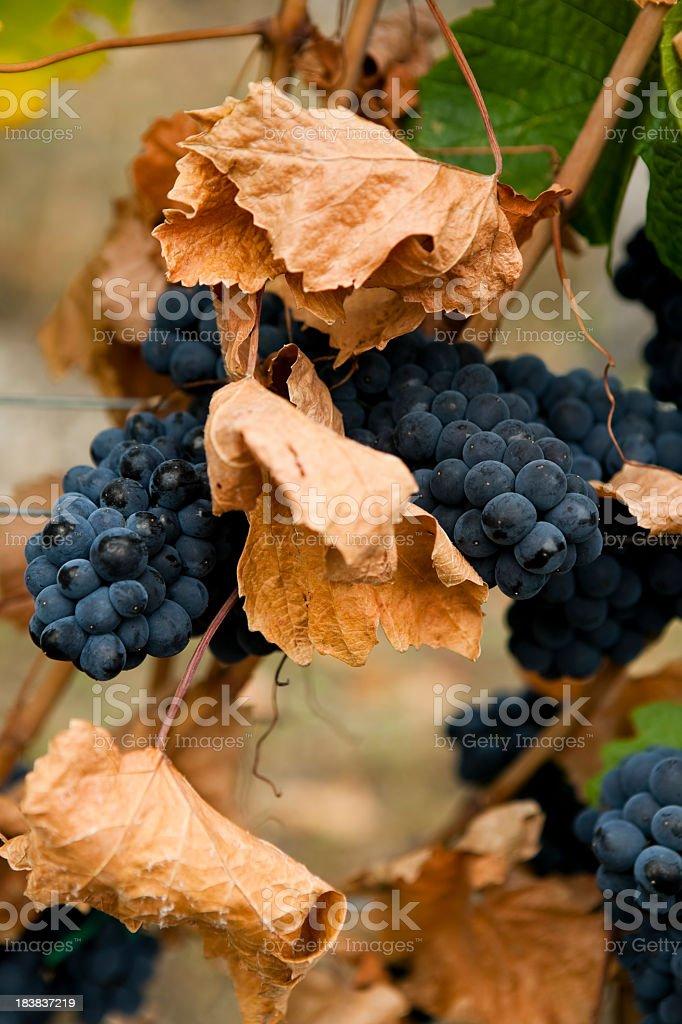 gamay noir grapes stock photo