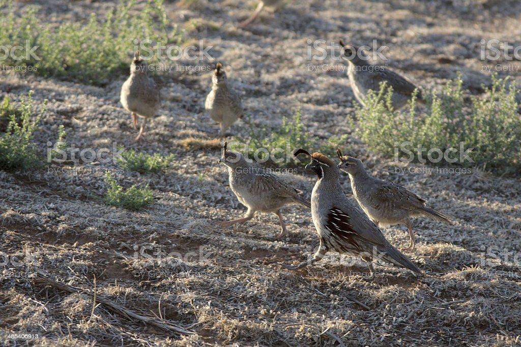Gambel Quail and chicks stock photo