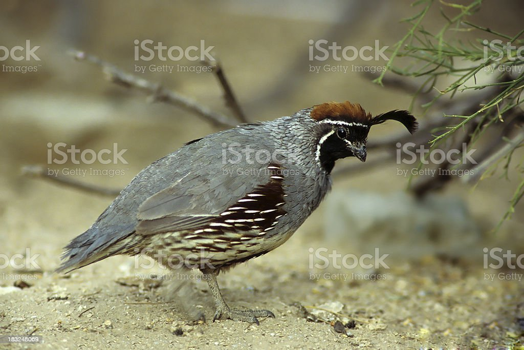 Gambel's Quail looking for Food stock photo
