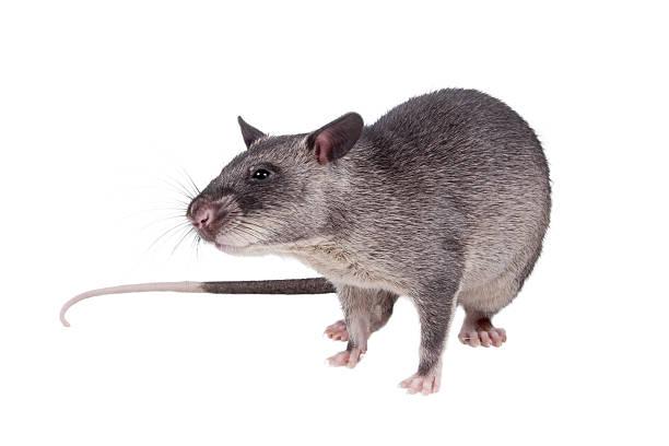 gambian pouched rat, 3 month old, on white - große waffen stock-fotos und bilder