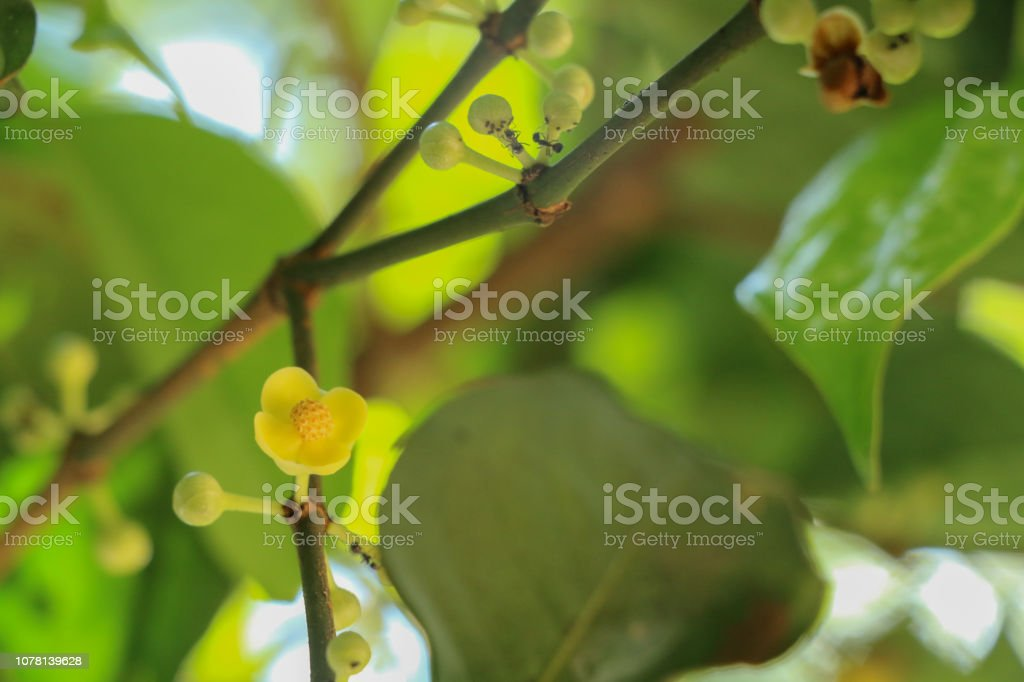 Gamboge Tree Herb In Thailand Stock Photo & More Pictures of