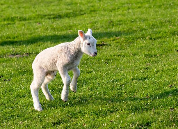 Gambolling agneau - Photo