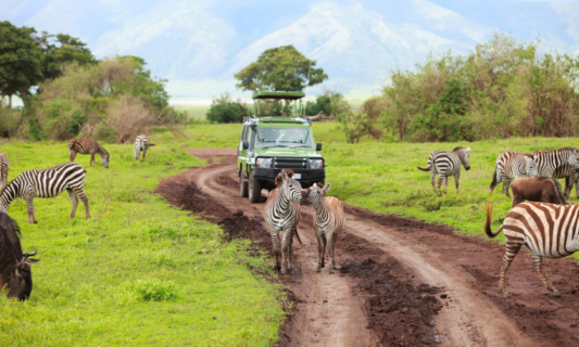 Safari cars are following a large African Elephants (Loxodonta)in the plains of the Masai Mara.