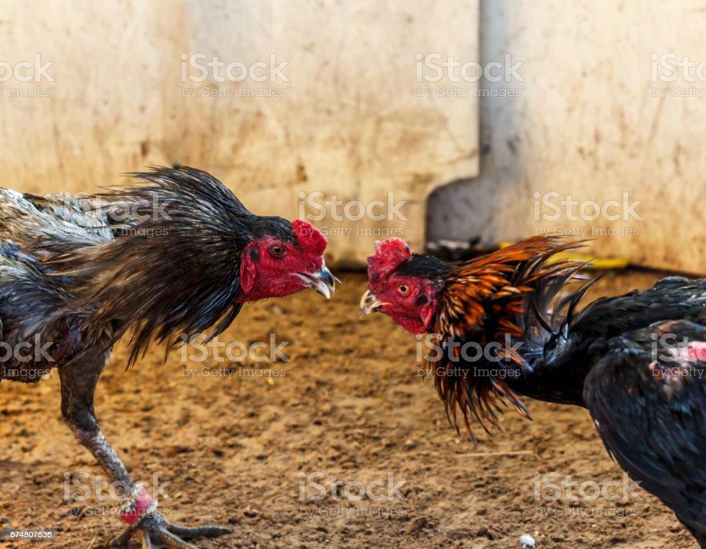 Gamecock fighting blurred stock photo