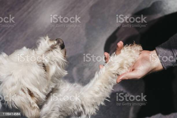 Ganaraskan dog giving paw to his owner selective focus picture id1159414584?b=1&k=6&m=1159414584&s=612x612&h=cobqcrl70ikasqleu6cebokiqtpx12pmem4cy znazm=