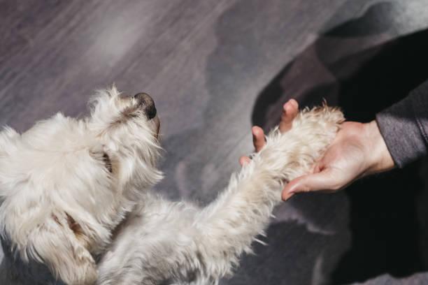 Ganaraskan dog giving paw to his owner selective focus picture id1159414584?b=1&k=6&m=1159414584&s=612x612&w=0&h=z35i7o0ctoubzcubzuehd9apeo2ozkviillxmvhg2os=