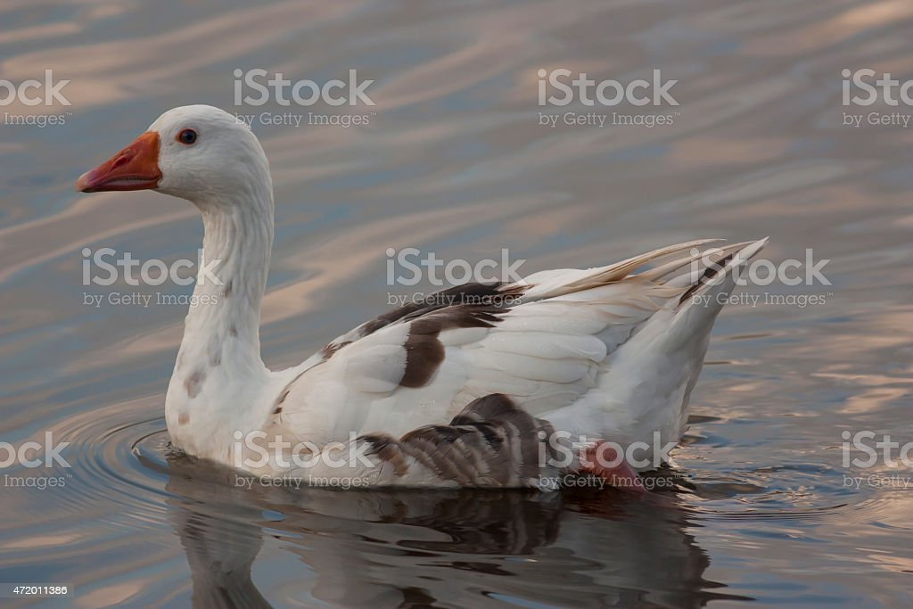 gander, goose stock photo