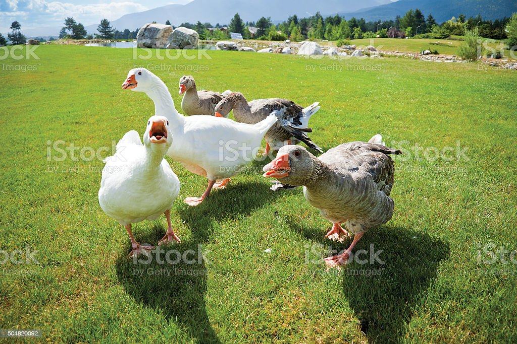 gang geese attack anger stock photo