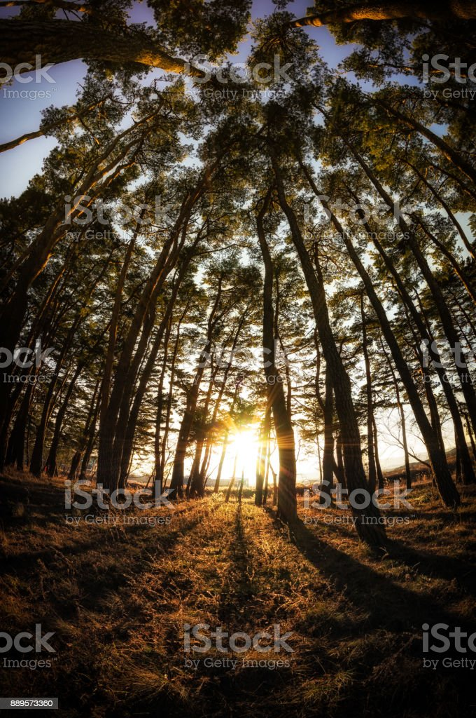 gangneung pine tree forest stock photo