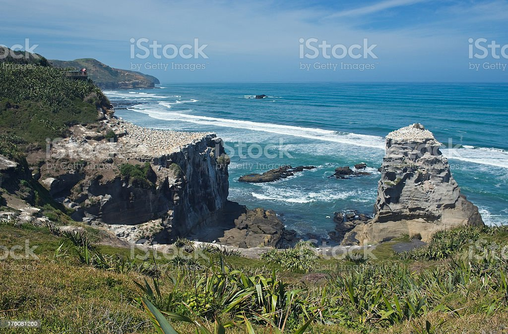 Gannet Colony at Muriwai, Auckland, New Zealand stock photo