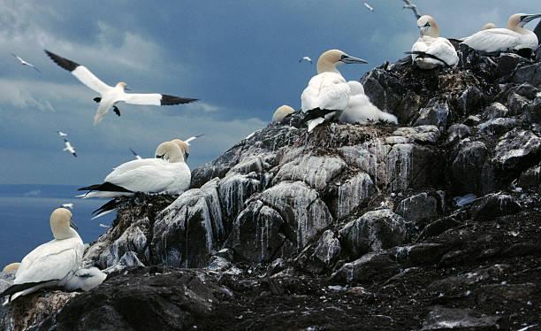 gannet colony, bass rock, scotland - northern gannet stockfoto's en -beelden