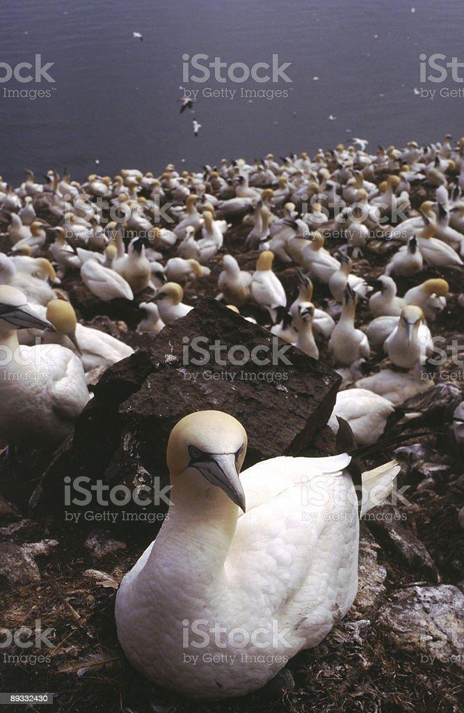 Gannet Colony, Bass Rock, Scotland royalty-free stock photo