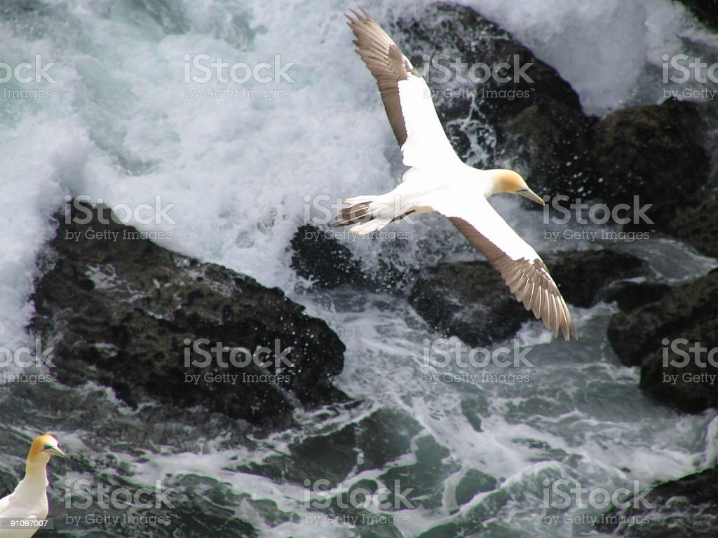 Gannet Colony in New Zealand stock photo