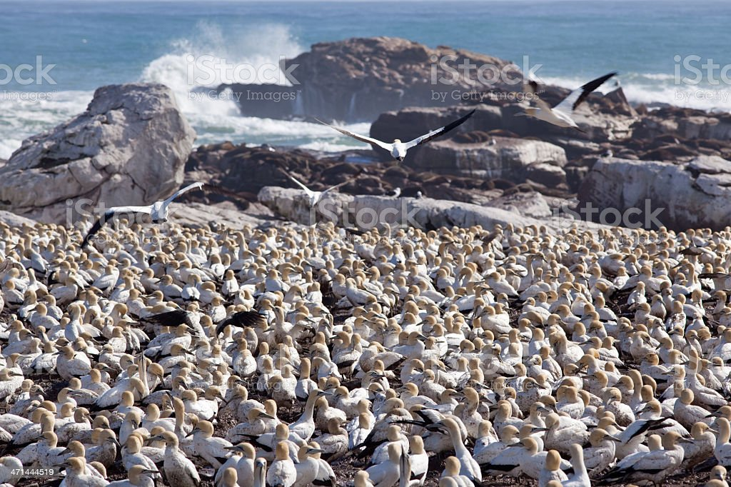 gannet colony royalty-free stock photo