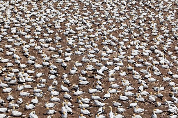 gannet colony - northern gannet stockfoto's en -beelden