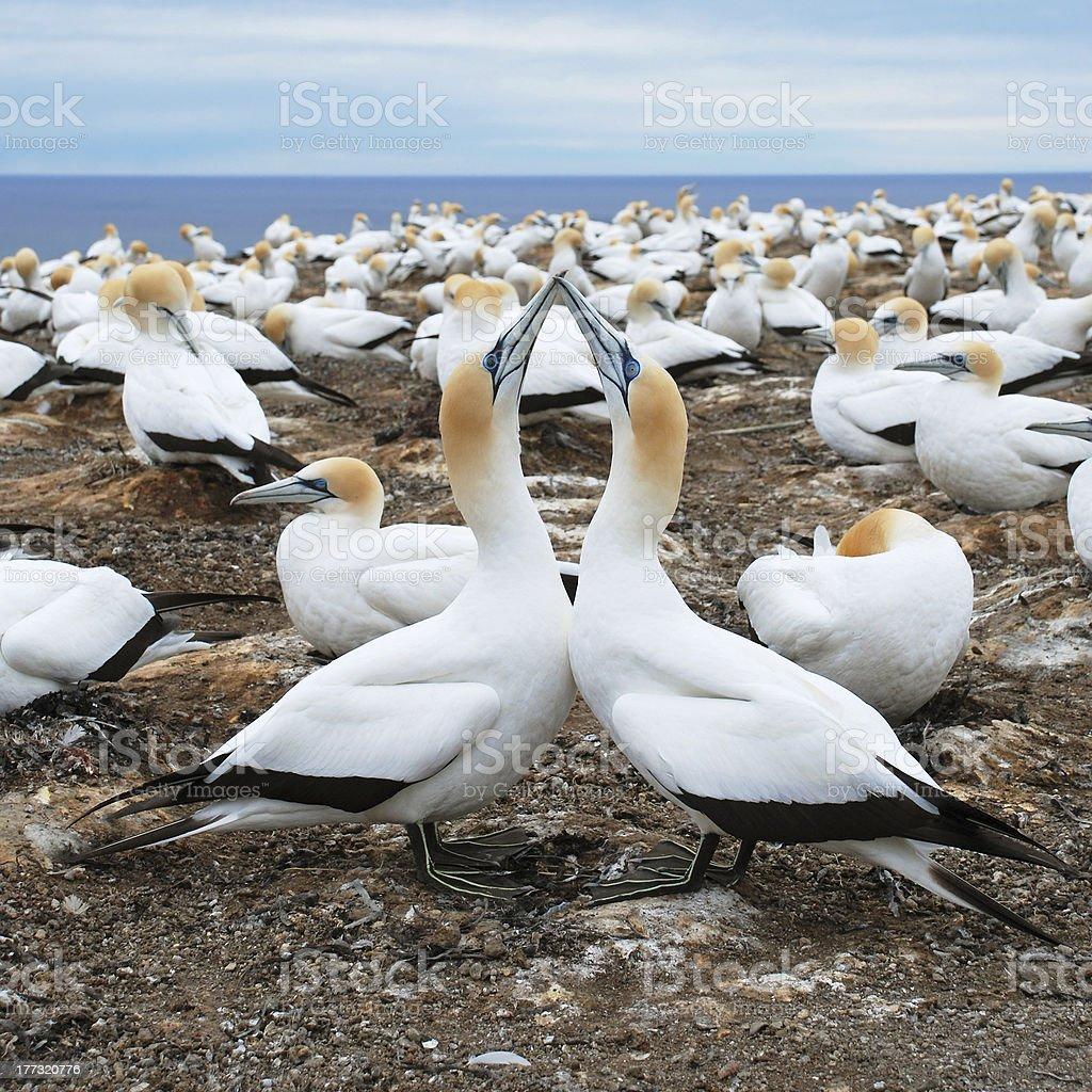 Gannet couple stock photo