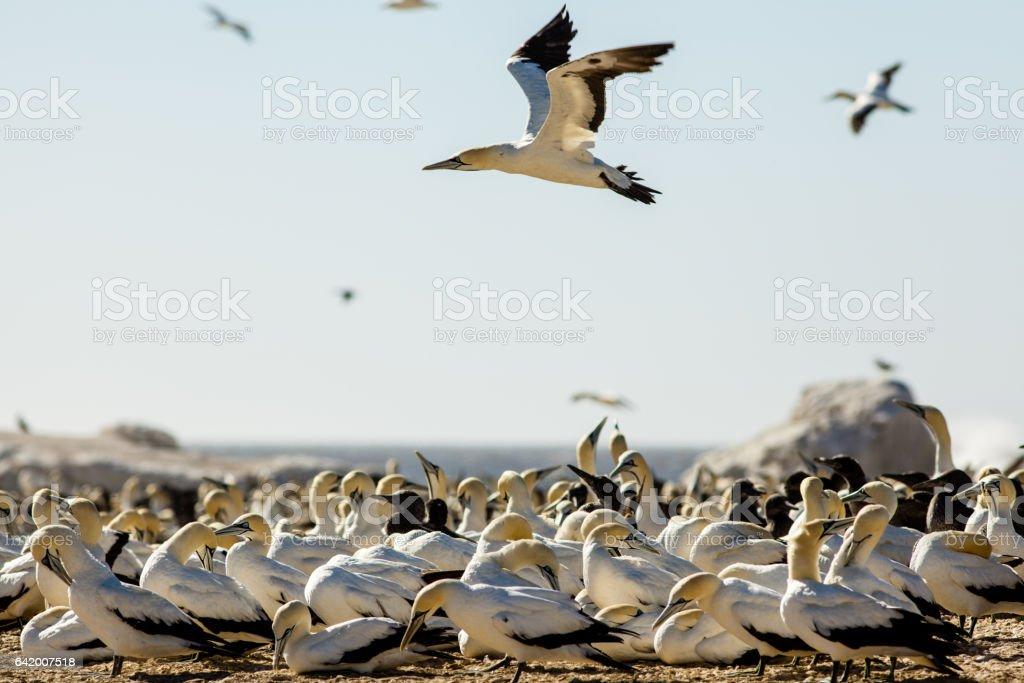 Gannet flies over other seabirds at Bird Island, Lambert's Bay, South Africa stock photo