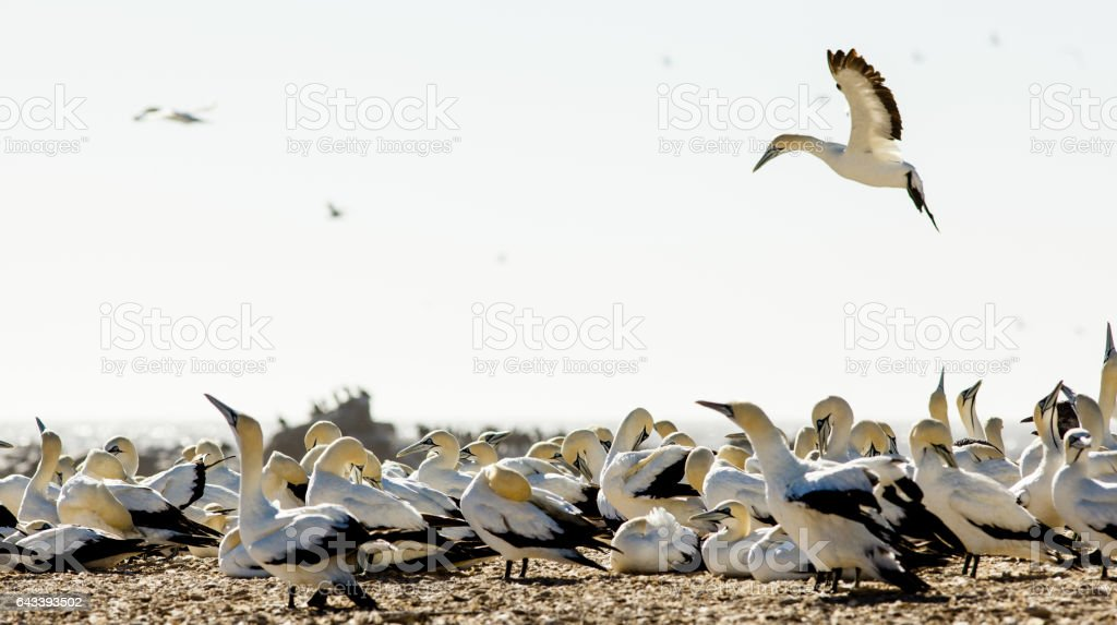 Gannet hovers over seabird colony, Bird Island, Lambert's Bay, South Africa stock photo