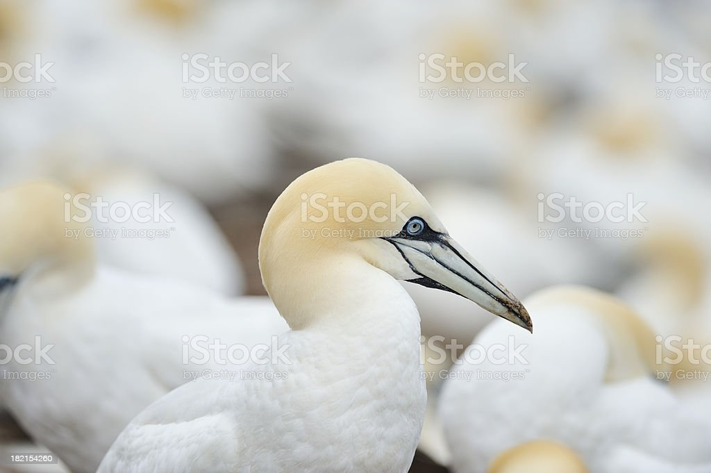 Gannet in colony stock photo