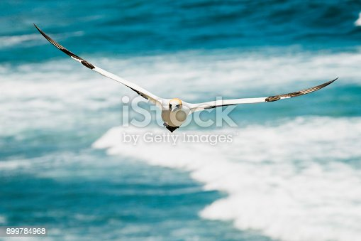 Large Gannet Colony at Muriwai Beach in New Zealand