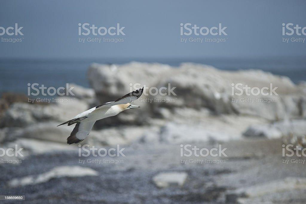 Gannet in flight stock photo