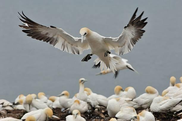 gannet in flight to bass rock - northern gannet stockfoto's en -beelden
